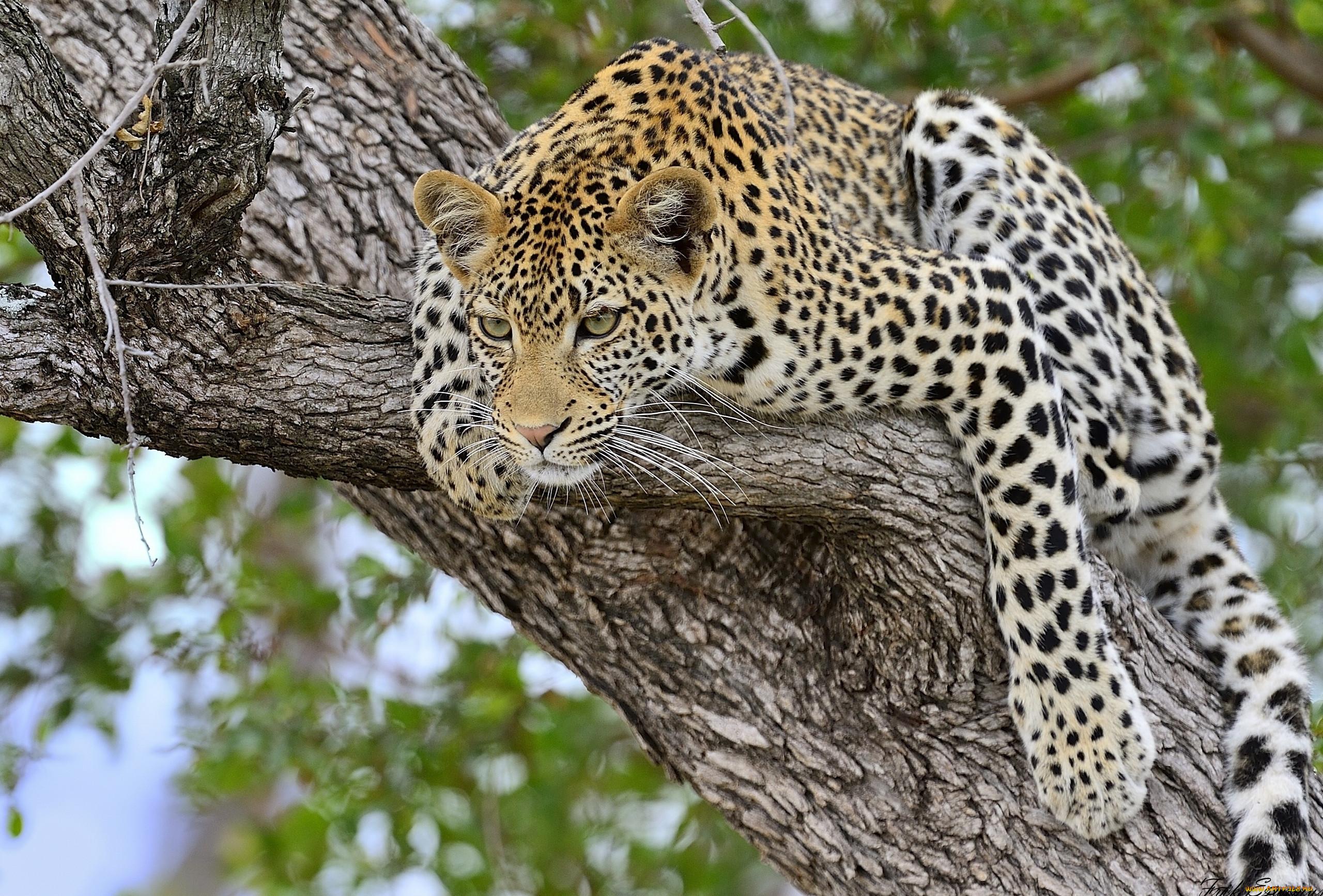 волейболистки картинки леопардов хорошего качества смелые или